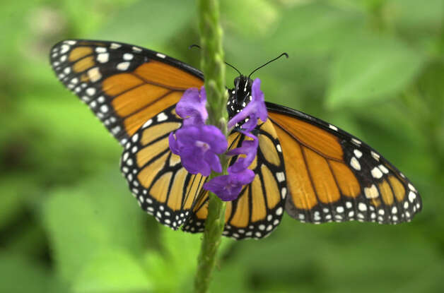 A Monarch butterfly sits on a flower at the San Antonio Zoo on July 2, 2003. Photo: San Antonio Express-News File Photo / SAN ANTONIO EXPRESS-NEWS