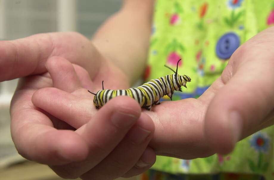 A Monarch caterpillar is seen at the Fredericksburg Butterfly Ranch & Habitat in Fredericksburg on March 28, 2000. Photo: San Antonio Express-News File Photo / EN