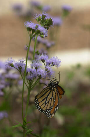 A Monarch butterfly hangs on a flower at the Fredericksburg Butterfly Ranch & Habitat in Fredericksburg on March 28, 2000. Photo: San Antonio Express-News File Photo / EN