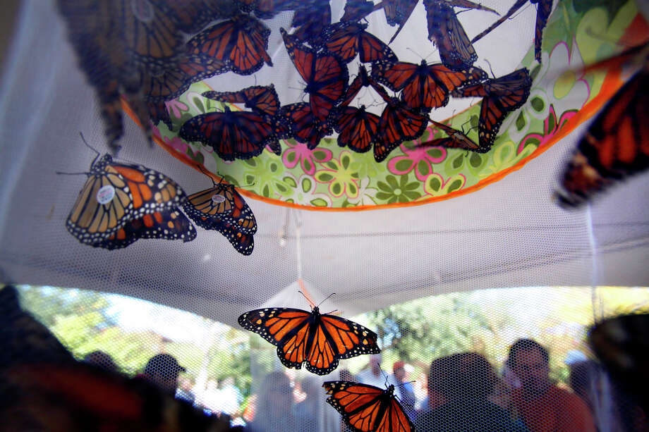 About 300 Monarchs were tagged and released to begin their migration south toward Michoacan, Mexico, during Monarch Celebration at Wildseed Farms in Fredericksburg on Oct. 18, 2009. Photo: San Antonio Express-News File Photo / sdulai@express-news.net