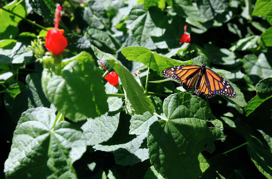 A Monarch butterfly rests on a plant at Wildseed Farms in Fredericksburg and warms up before its long journey to southern Mexico for the winter on Oct. 18, 2009. Photo: San Antonio Express-News File Photo / sdulai@express-news.net
