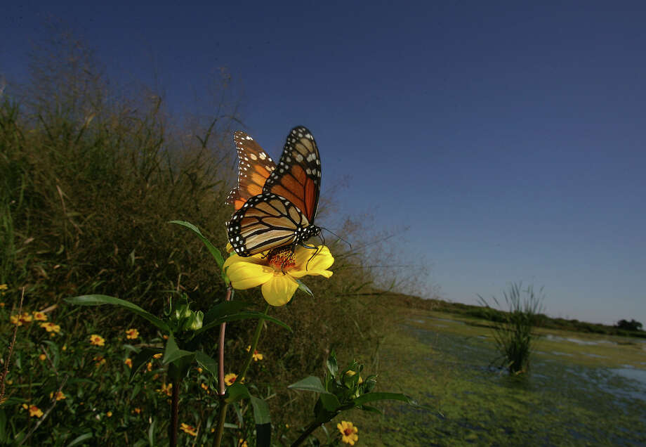 A wetland station at Cooks Slough Nature Park in Uvalde attracts Monarch butterflies on Oct. 19, 2007. Photo: San Antonio Express-News File Photo / SAN ANTONIO EXPRESS NEWS