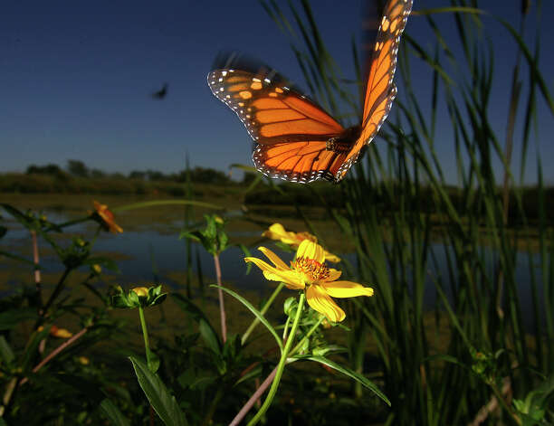A Monarch butterfly takes flight at a wetland station at Cooks Slough Nature Park in Uvalde on Oct. 19, 2007. Photo: San Antonio Express-News File Photo / SAN ANTONIO EXPRESS NEWS