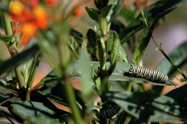 A Monarch butterfly caterpillar crawls on a Tropical Milkweed plant at the Mitchell Lake Audubon Center on March 25, 2007. Photo: San Antonio Express-News File Photo / SAN ANTONIO EXPRESS-NEWS