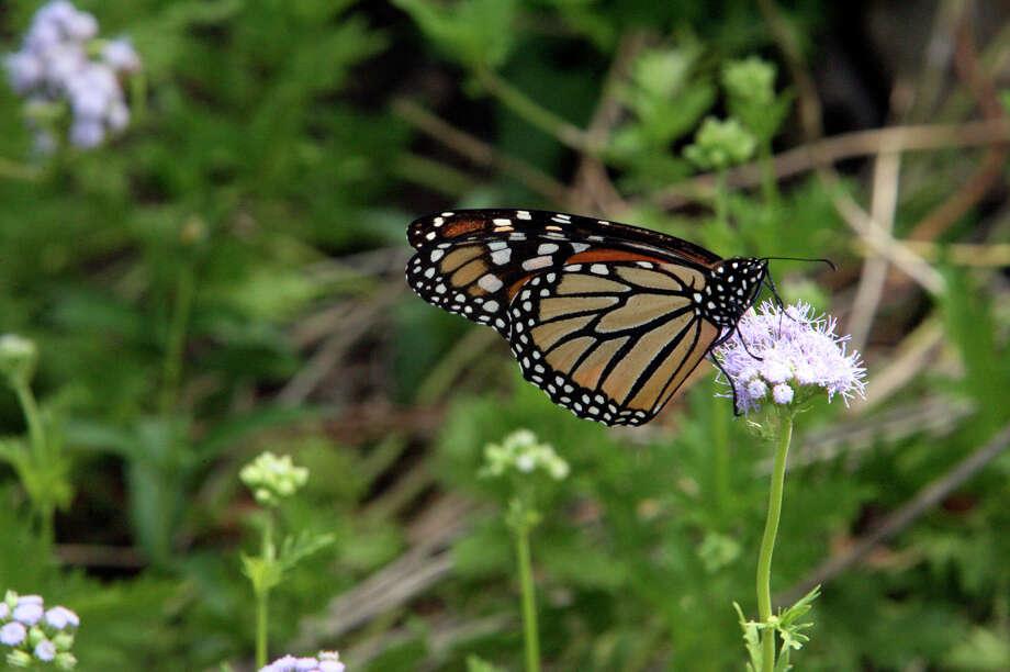 Monarch butterflies visit the Antique Rose Emporium on Oct. 7, 2006. Photo: San Antonio Express-News File Photo / San Antonio Express-News