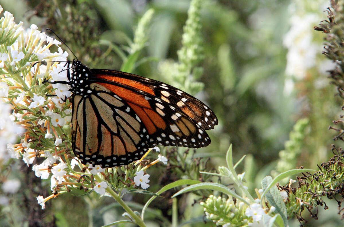 Monarch butterflies visit the Antique Rose Emporium on Oct. 7, 2006.