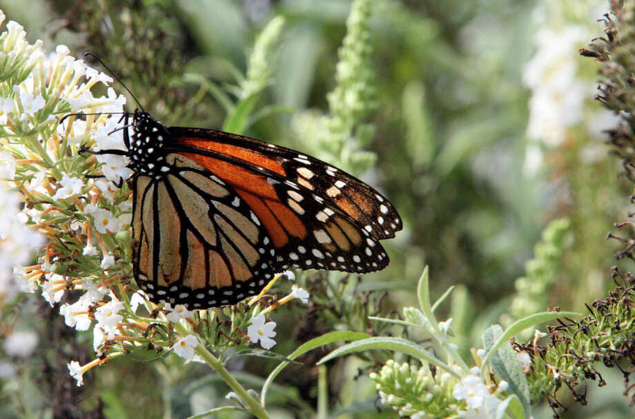 Monarch butterflies visit the Antique Rose Emporium on Oct. 7, 2006. Photo: San Antonio Express-News File Photo / San Antonio Express-News