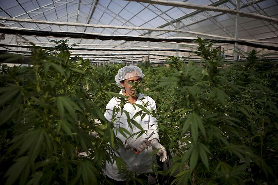 In this photograph made on Thursday, Nov. 1, 2012, an Israeli woman works at Tikkun Olam medical cannabis farm, near the northern Israeli city of Safed, Israel. Marijuana is illegal in Israel but medical use has been permitted since the early nineties for cancer patients and those with pain-related illnesses such as Parkinson's, Multiple Sclerosis, and even post-traumatic stress disorder. Photo: Dan Balilty, Associated Press