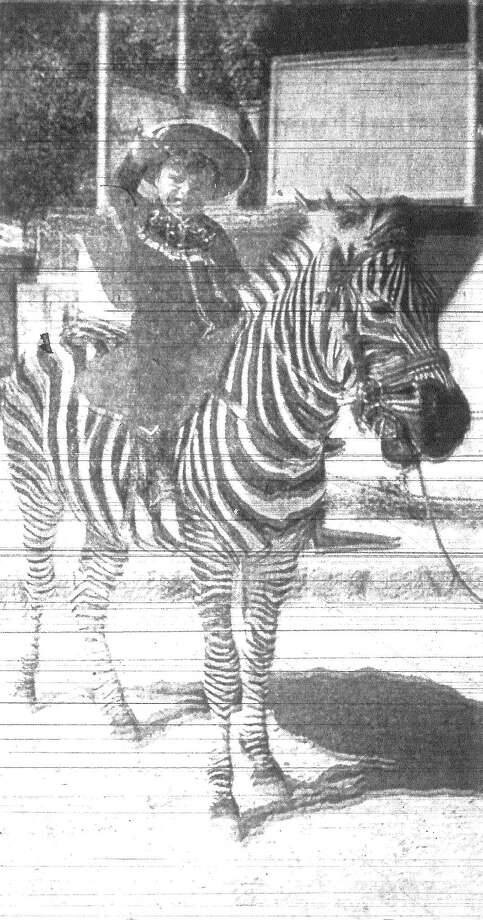 "Something new has been added to the list of riding animals that will be paraded by the San Antonio Livestock Exposition and Rodeo in February. Taking its place in the lineup of horses will be ""Bravo,"" the San Antonio Zoo's two-year-old zebra, which animal trainer Joe Frisco has broken to ride. Sitting on the colorful mount at the zoo is Joe Frisco Jr., the animal trainer's son. Bravo was born at the zoo. Published in the San Antonio Light Nov. 6, 1962. Photo: File Photo"