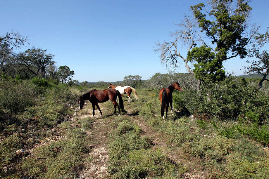 Horses wander onto a parcel considered for possible land additions to the Government Canyon State Natural Area  on October 30, 2012. Photo: Tom Reel, San Antonio Express-News / ©2012 San Antono Express-News