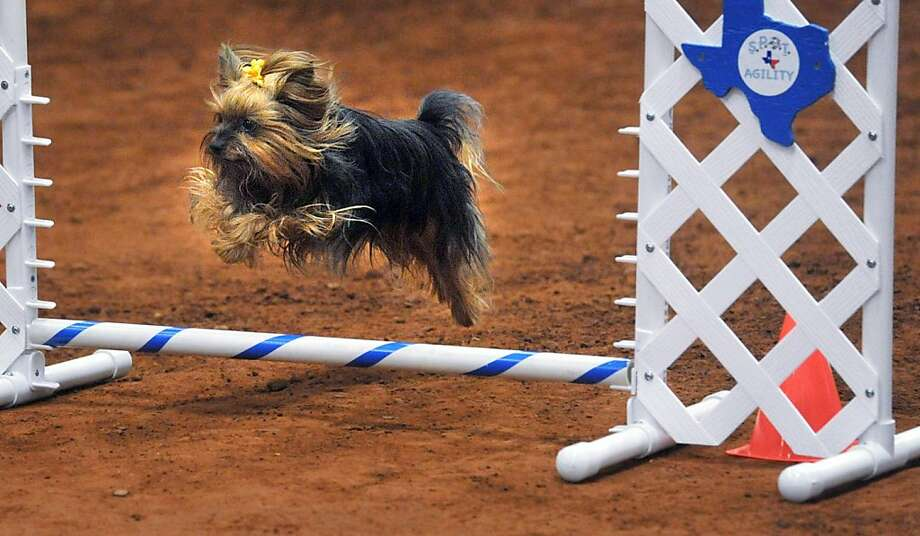Ooh, barely made it over that one!Mitzi the Yorkie appears to have mastered the ultra-easy jump setting for obstacles at the Petit Prix Western Championships in Wichita Falls, Texas. Photo: Torin Halsey, Associated Press