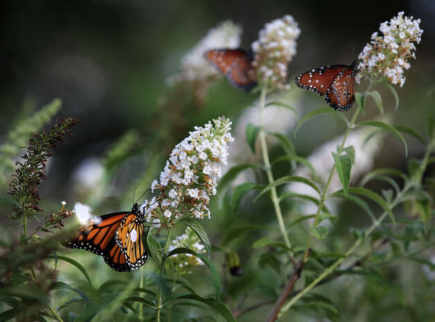 "The monarch butterfly, left, that Maraleen Manos-Jones, the ""Butterfly Lady"", brought to the San Antonio Botanical Garden, that had lost it's way in Albany, takes nectar from a Butterfly Bush as Queen Butterflies, right, do the same. Monday, Nov. 5, 2012. Photo: Bob Owen, San Antonio Express-News / © 2012 San Antonio Express-News"