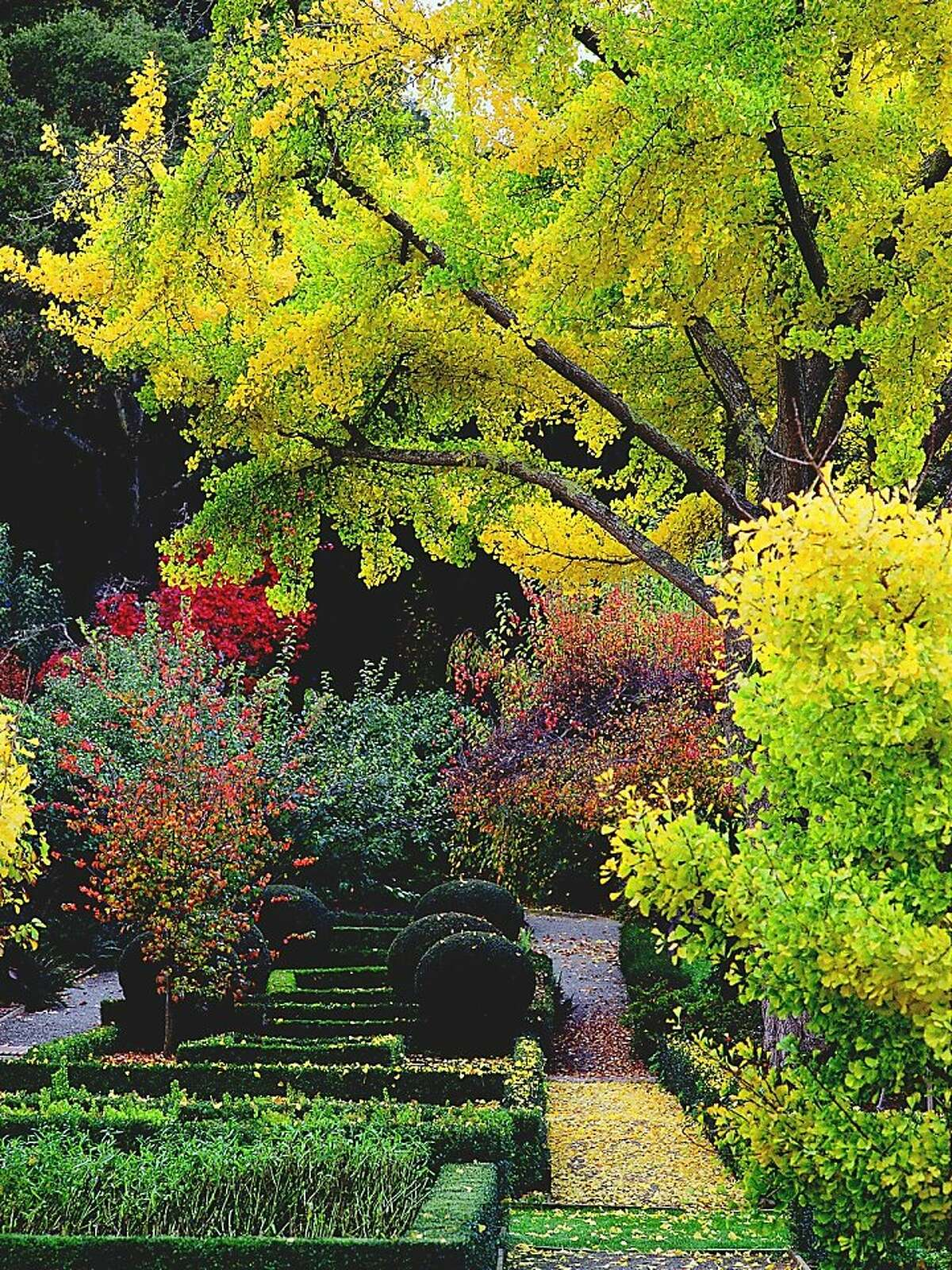 Ginkgo biloba. Photo by Saxon Holt. From 'Plants and Landscapes for Summer-Dry Climates.' EBMUD.