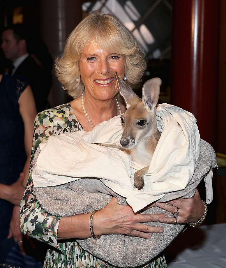 Kangaroyal:The Duchess of Cornwall comforts Ruby Blue the joey in a makeshift pouch at the  Cattle Rancher's Hall of Fame in Longreach, Australia. She and Prince Charles are visiting Australia on the second leg of a Diamond Jubilee Tour. Photo: Chris Jackson, Getty Images