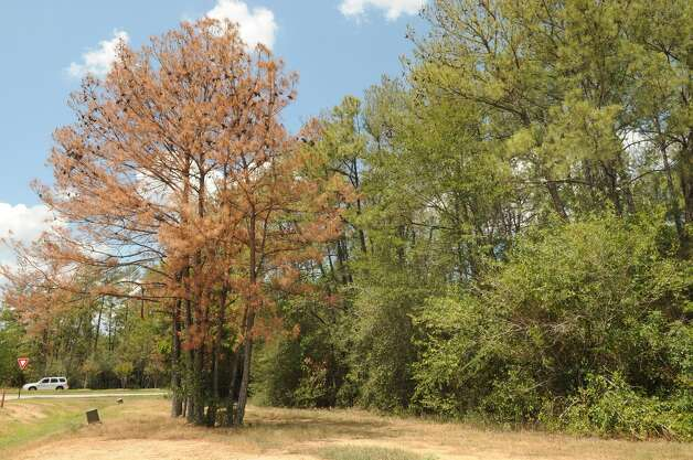 The Woodlands Development Co. is removing dead trees from along the shoulders of roads and at neighborhood entrances. Pine trees at the intersection of The Woodlands Parkway and Gosling Road. Freelance photo by Jerry BakerThe Woodlands Development Co. is removing dead trees from along the shoulders of roads and at neighborhood entrances. Pine trees at the intersection of The Woodlands Parkway and Gosling Road. Freelance photo by Jerry Baker Photo: Jerry Baker, Freelance