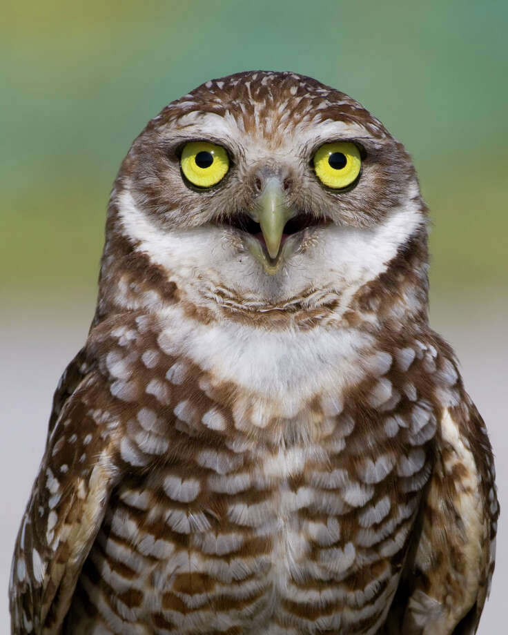 Once a common species in California and across North America, the Western burrowing owl has become a rarer and rarer sight over the last three decades given habitat loss and other environmental perils the bird faces. Photo courtesy of iStockPhoto/Thinkstock Photo: Contributed Photo