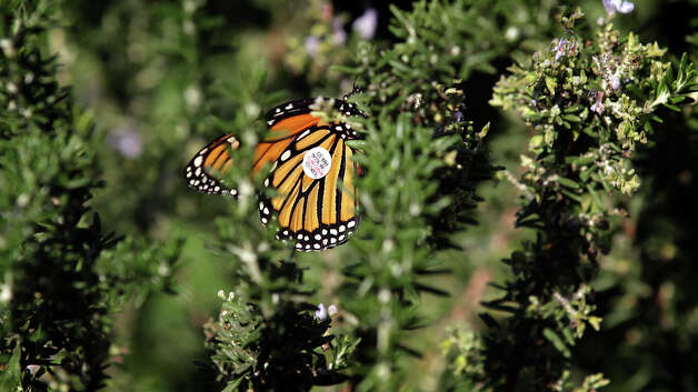 "Maraleen Manos-Jones, released this monarch at the San Antonio Botanical Garden that had lost it's way in Albany. Southwest Airlines flew the monarch and ""Butterfly Lady"" to San Antonio in hopes that it will find it's way to the monarch's winter home in the mountains of Mexico. Monday, Nov. 5, 2012. (Bob Owen / San Antonio Express-News) Photo: Bob Owen / © 2012 San Antonio Express-News"