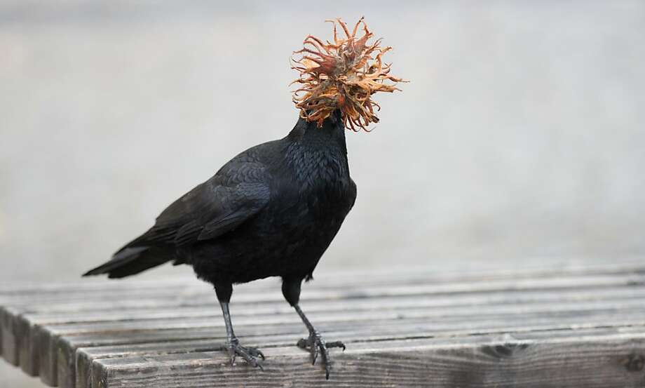 A crow hides its face behind a dried hazel flower bloom that it stole in Hanover, Germany. Photo: Jochen Luebke, AFP/Getty Images
