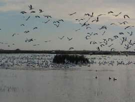 Birds -- mostly snowgeese --  take off at the Sacramento National Wildlife Refuge, up Interstate 5 near Maxwell.
