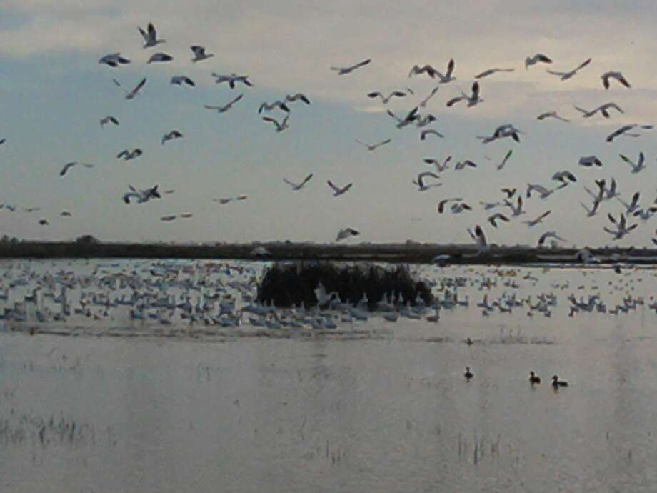 Birds -- mostly snowgeese --  take off at the Sacramento National Wildlife Refuge, up Interstate 5 near Maxwell. Photo: Tom Stienstra