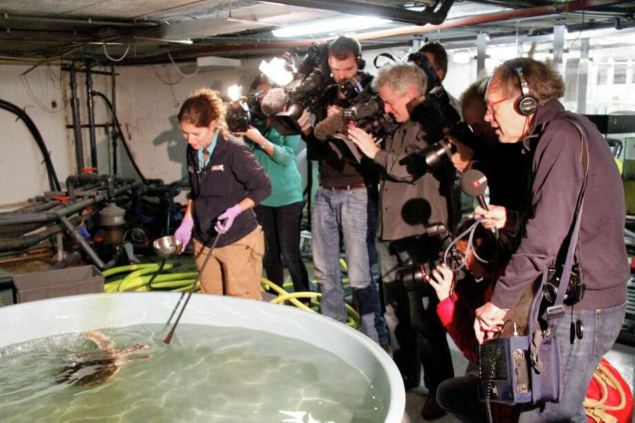Aquarist Marjolein Kemna shows off Flip, the traveling Kemp's ridley sea turtle, to a horde of Dutch media at Sea Life Scheveningen in the Netherlands. Photo: Sea Life Scheveningen / Sea Life Scheveningen