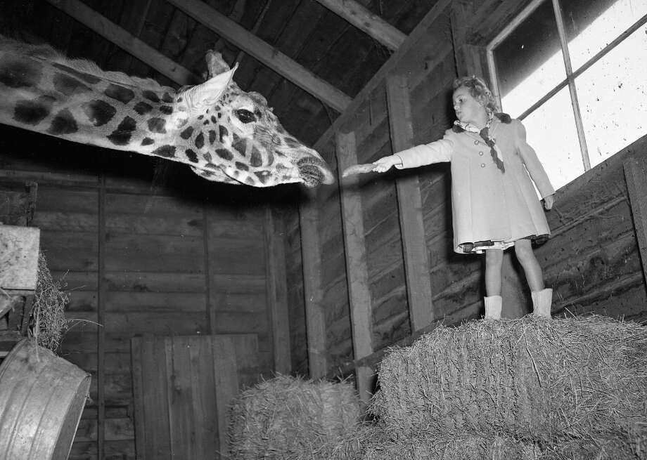 Jan. 22, 1953: A student from MacGregor Elementary School in Albany feeds a giraffe at the San Francisco Zoo. Based on the Chronicle photos from the 1940s and 50s, the only people who weren't feeding the animals were the zookeepers. (Chronicle file) Photo: Chronicle File, The Chronicle / ONLINE_YES