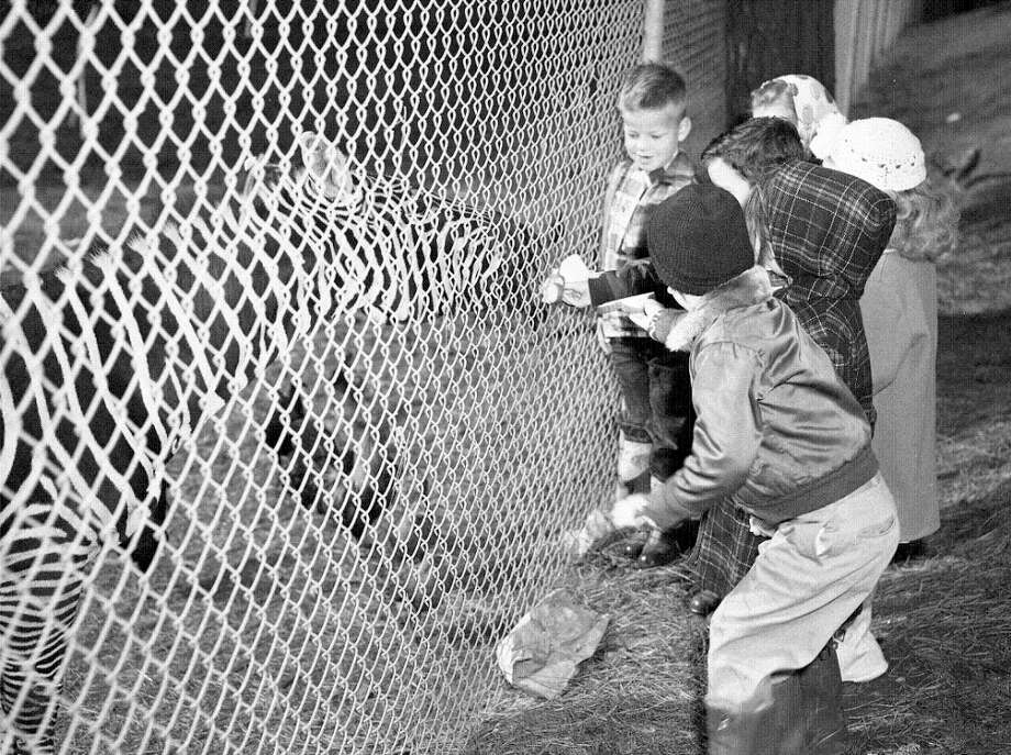 "Jan. 22, 1953: More Albany school children, this time feeding a zebra. I pulled in close on the photo negative, and that kid on the left who looks straight out of ""A Christmas Story"" is feeding the zebra his sandwich (on white bread with some kind of meat). Someone who grew up in the 1950s please confirm that all zoo animals of the era were morbidly obese.  (Chronicle file) Photo: Chronicle File, The Chronicle / ONLINE_YES"
