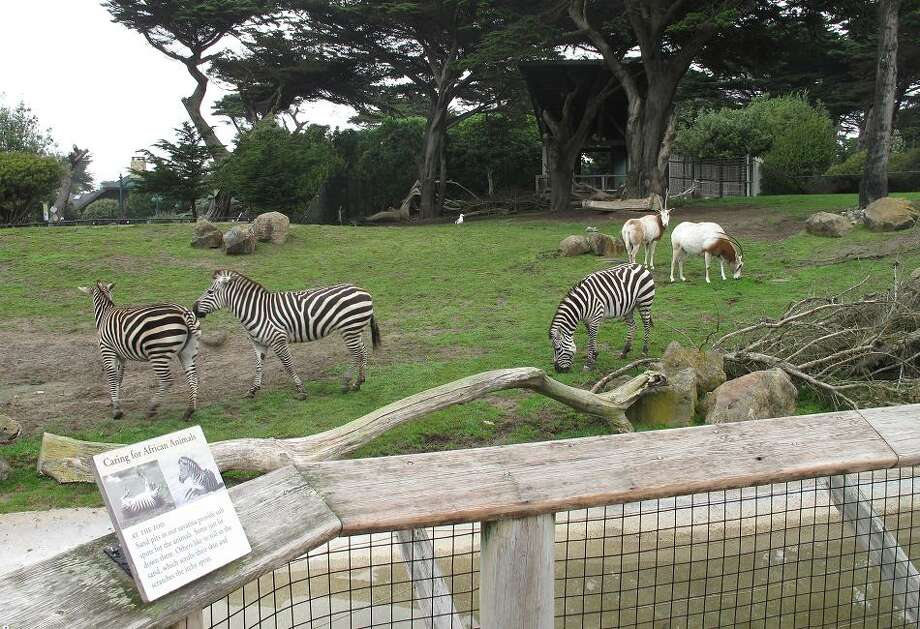 If I had to be a San Francisco Zoo animal, zebra and lemur would be at the top of my list. They seem to have the least claustrophobic enclosures. Polar bear, tiger, rhinoceros and prairie dog are at the bottom. (Peter Hartlaub / The Chronicle)
