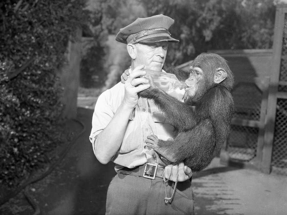 Oct. 25, 1948: Zoo keeper Bill Wills feeds a chimp at the San Francisco Zoo. We only have a handful of photos from the 1940s. All of the zookeepers looked like milk men. Photo: Duke Downey, The Chronicle / ONLINE_YES