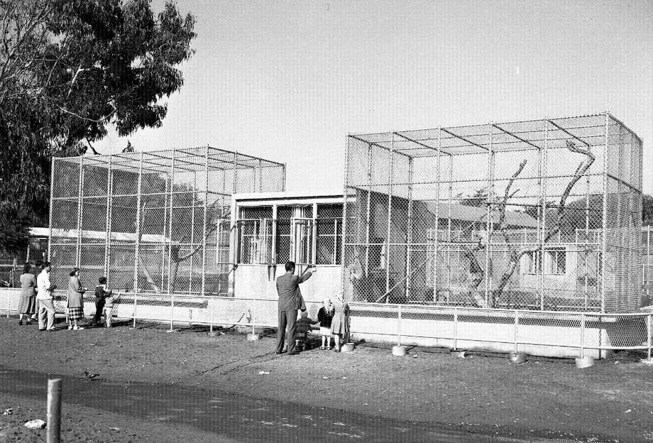Feb. 5, 1952: The new chimp house, one of several unimpressive enclosures. Still, it was better than the alternative. Chronicle articles reported that temporary cages built in 1926 were still in use in the 1950s, with rotting foundations and cannibalized parts from other run-down exhibits. Photo: Bob Campbell, The Chronicle / ONLINE_YES