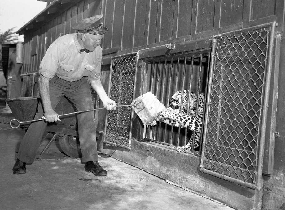 Oct. 25, 1948: Bill Berry feeds a big cat at the San Francisco Zoo. That's probably horse meat. During the war, there was a shortage of horse meat and some of the animals had to eat burro and extremely low-grade beef. Photo: Duke Downey, The Chronicle / ONLINE_YES