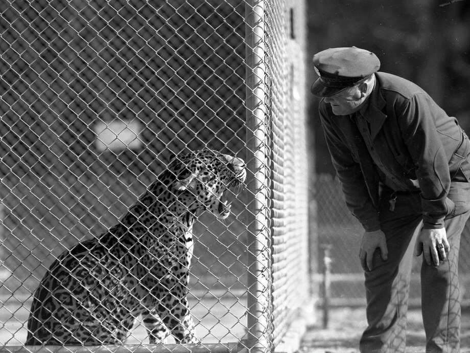 Feb. 5, 1952: Here's the same jaguar (or is it a leopard?) at the zoo. This was one of the most depressing enclosures, although not as bad as the polar bear cages in 1936. They appears to have a concrete floor and a few puddles of water. Photo: Bob Campbell, The Chronicle / ONLINE_YES
