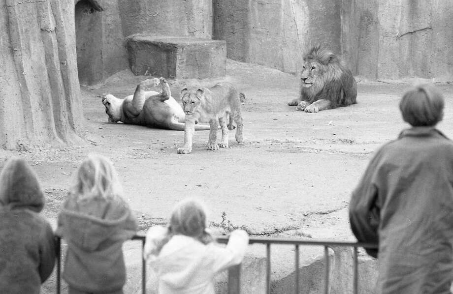 May 22, 1972: A group of students watch the lions at the San Francisco Zoo. When I was a kid these were some of the more spacious enclosures. Now they're among the most restrictive. Photo: Joseph J. Rosenthal, The Chronicle / ONLINE_YES