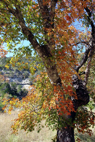 Leaves on trees are starting to change at Lost Maples STate Natural Area on November 7, 2012. Photo: Tom Reel, San Antonio Express-News / ©2012 San Antono Express-News