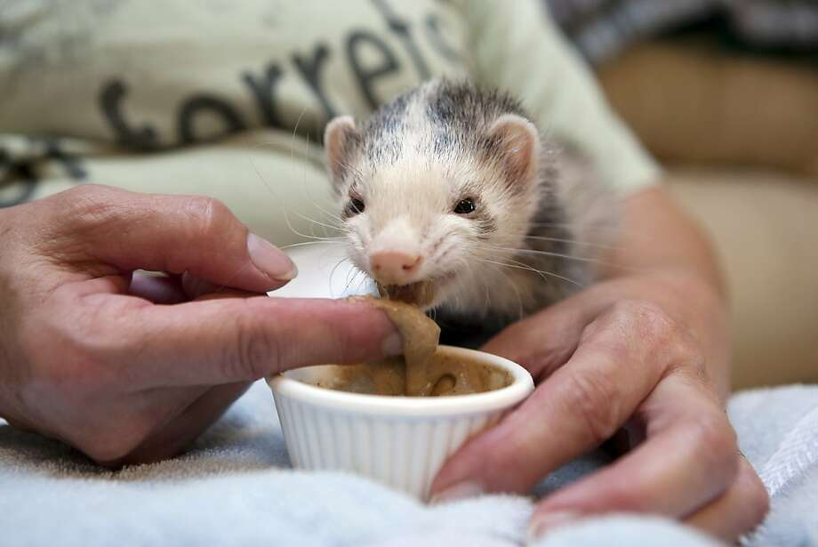 A little gruel and you'll feel like a new weasel: Hot Dog the ferret, who's been under the weather, is finger-fed by Jimi Hummel at her home in League City, Texas. Photo: Johnny Hanson, Houston Chronicle