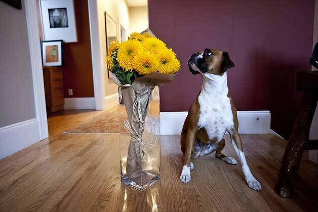 Dominique Crenn's dog sits next to the flowers her friend brought as a gift to the dinner. San Francisco, Calif. on Monday, Aug 20, 2012. Photo: Sonja Och, The Chronicle