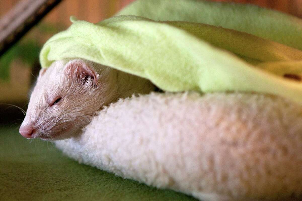 A ferret named C.C. sleeps in the home of Jimi Hummel, who started the domestic ferret rescue group and owns nine of her own in League City.