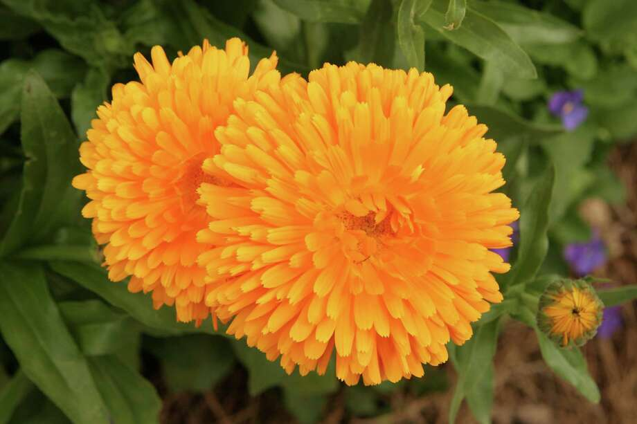 Calendulas prefer cool weather. The colorful blooms are also edible. Photo: BRUCE BENNETT, FREELANCE / FREELANCE