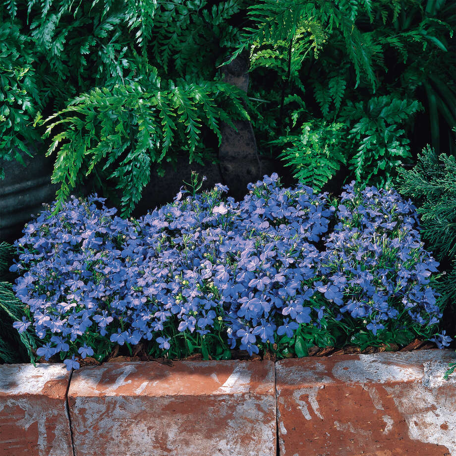 Riviera Sky Blue lobelia from Pan American Seed. / e-mail