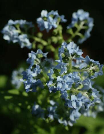 Chinese forget-me-nots Photo: John Everett, Staff / Houston Chronicle