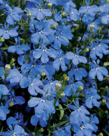 lobelia. Proven Winners photo Photo: Proven Winners
