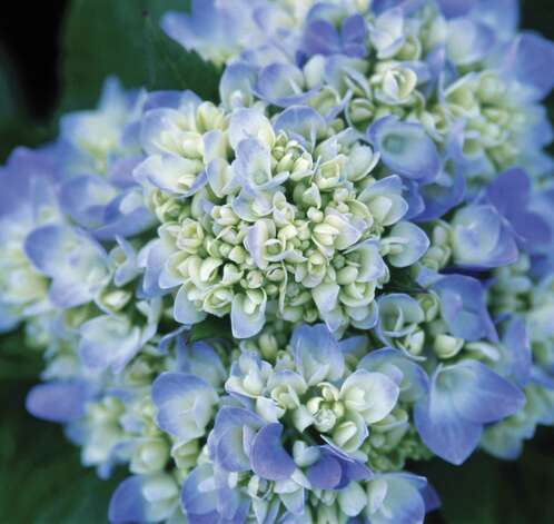 Bailey Nurseries photo Endless Summer hydrangea is blue in more acidic soil. / handout