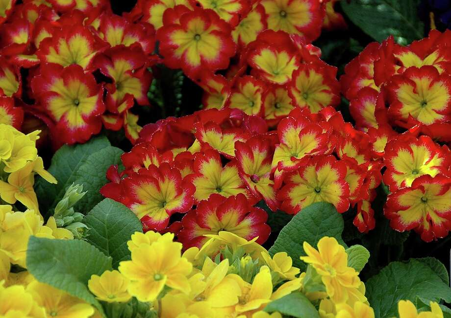 Primulas offer dazzling colors sure to brighten the dreariest cool-season porch, patio or flowerbed. Photo: McClatchy Tribune / MCT