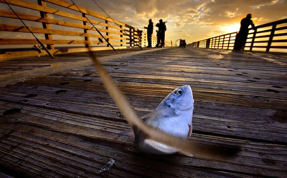 Off the hook and on the planks: One of the anglers on the Lake Worth (Fla.) Pier lands his catch on the boards of the pier.  Photo: Lannis Waters, Associated Press