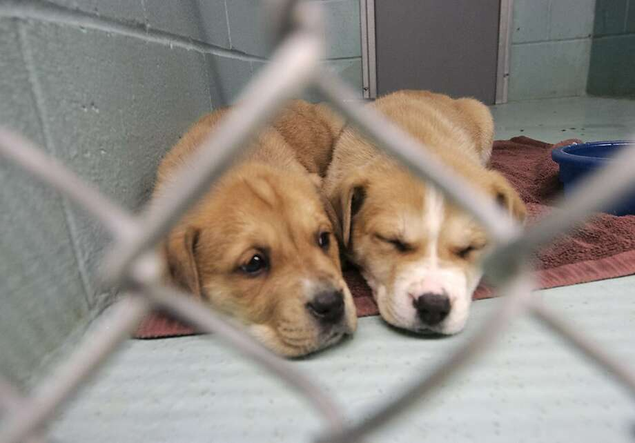 It won't be perfectuntil someone adopts them, but for now these two pups at the Kenai (Alaska) Animal Shelter have their towel, their kibble and each other to sleep against. So, not too bad at all. Photo: M. Scott Moon, Associated Press