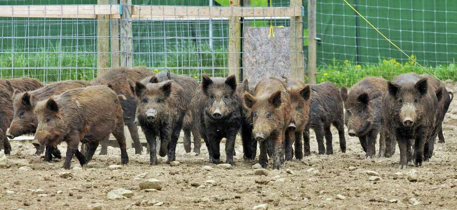 Breeding stock of Russian wild boar at Easton View Outfitters in Valley Falls Friday afternoon May 13, 2011.   (John Carl D'Annibale / Times Union) Photo: John Carl D'Annibale / 00013134A