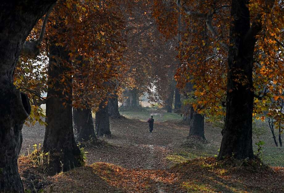 Shorter, colder days in Srinagar: A Muslim Indian man walks under maple trees holding onto their dying leaves in Kashmir. Photo: Tauseef Mustafa, AFP/Getty Images