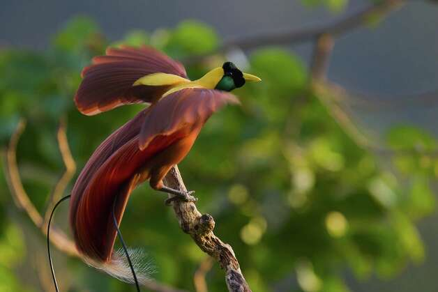 "A male Red Bird of Paradise poses on his favorite perch at the top of the tree canopy in ""Birds of Paradise."" Photo: Tim Laman, Photograph By Tim Laman/National"