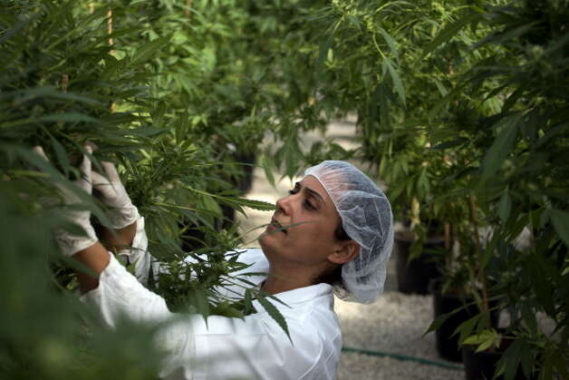 With marijuana coming soon to a store or farm near you – unless the Department of Justice steps in – late next year, it's time to start auditions for good names for Washington weed. Click through this slideshow to see our best efforts, then add your own in the comment section below. Photo: MENAHEM KAHANA, / / 2012 AFP
