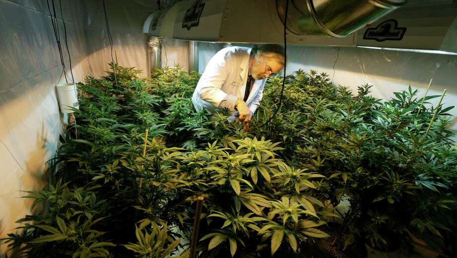 Jake Dimmock, co-owner of Northwest Patient Resource Center medical marijuana dispensary in Seattle, works with flowering plants in a grow room. Photo: Ted S. Warren, STF / AP